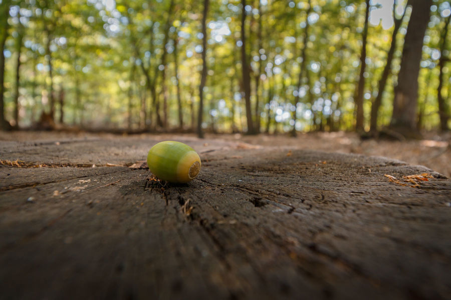 Forestwalk EyeEm Nature Lover EyeEmNewHere Acorn Close-up Day Food Food And Drink Forest Forest Photography Freshness Fruit Green Color Healthy Eating Land Nature No People Outdoors Plant Selective Focus Surface Level Tree Wellbeing Wood Wood - Material WoodLand Be Brave