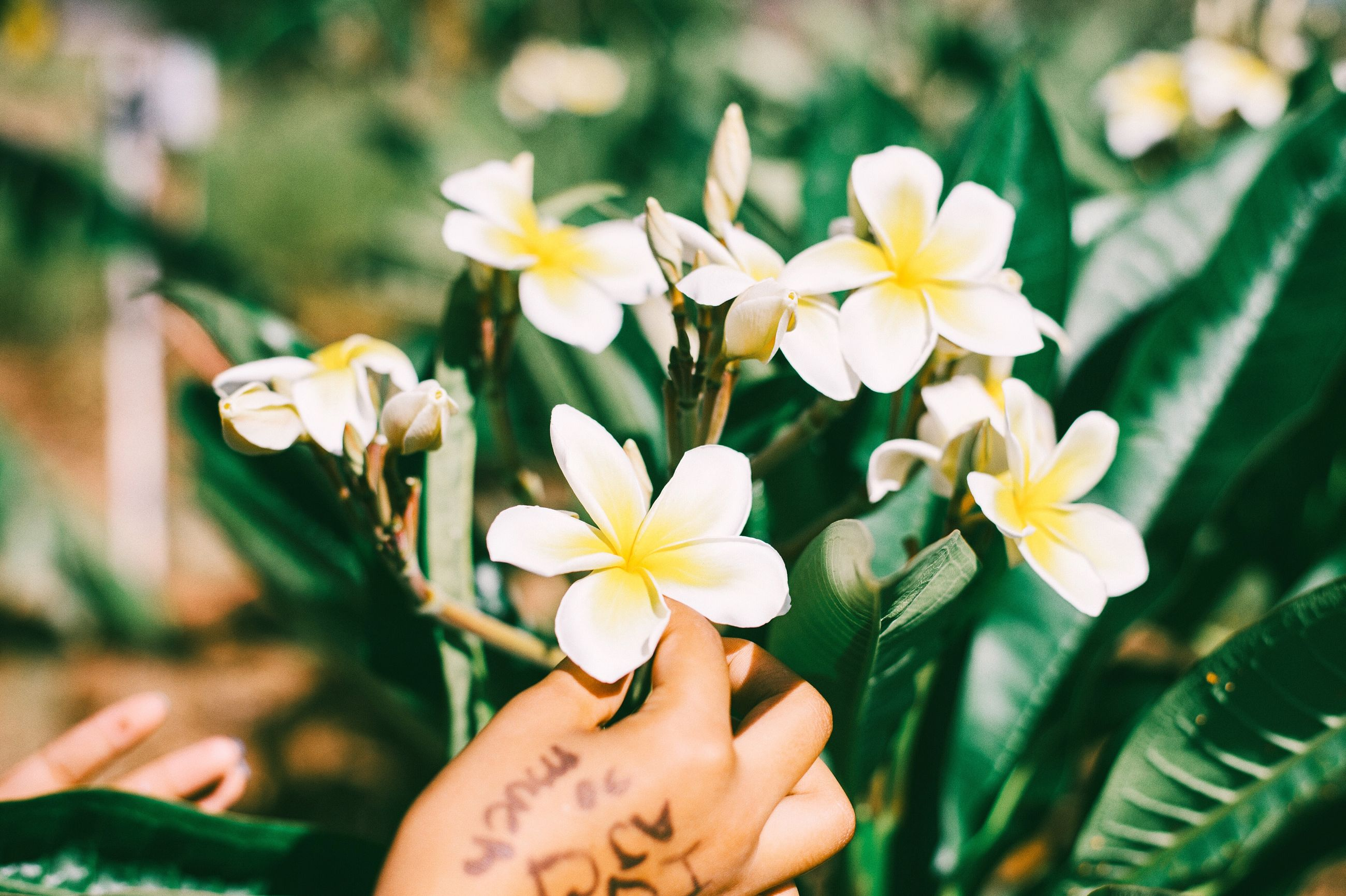 flower, petal, freshness, fragility, flower head, growth, white color, beauty in nature, focus on foreground, close-up, pollen, blooming, nature, yellow, stamen, plant, daisy, in bloom, blossom, person