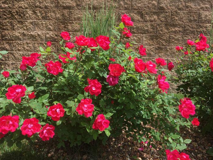 Pink flowers blooming outdoors