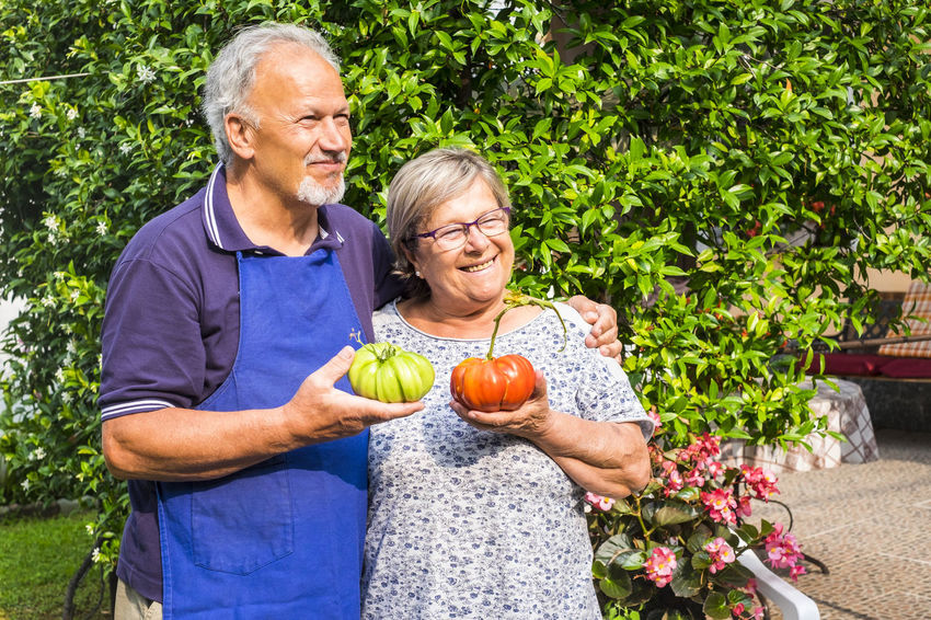couple of adult senior caucasian man and woman with big home made tomatoes on hand one green one red ready to be eaten. Healthy lifestyle with vegetables produced at home for cheaper and nice life Senior Adult Two People Adult Senior Women Holding Plant Senior Men Togetherness Smiling Men Couple - Relationship Males  Happiness Freshness Gray Hair Women Emotion Senior Couple Positive Emotion Hobby Agriculture Tomatoes Casual Clothing Sunlight Retirement