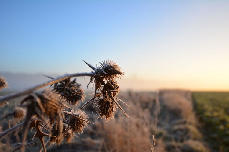Close-Up Of Dried Plant On Field Against Sky During Sunset