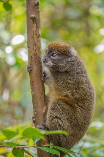 Tree Animal Themes Bamboo Leaf Branch Climbing Lemur Lemur Catta Lémuriens Madagascar  Mammal Nature Outdoors Portrait Wildlife Ziseetheworld Ziwang