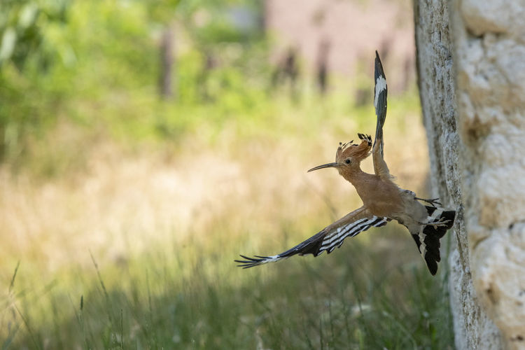 Animal Animal Themes Animal Wildlife Animals In The Wild Bird Day Focus On Foreground Hoopoe Hoopoe Bird Land Nature No People One Animal Outdoors Perching Plant Selective Focus Tree Tree Trunk Trunk Vertebrate Woodpecker