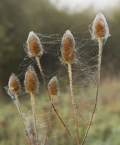 Autumn Morning Morning Light Nature Nature Photography Stalactite  Beauty In Nature Brown Close-up Closup Cobweb Conical Seed Head Day Focus On Foreground Fragility Growth Intricate Nature No People Outdoors Plant Seed Head Spider Web Spiders Web Undergrowth