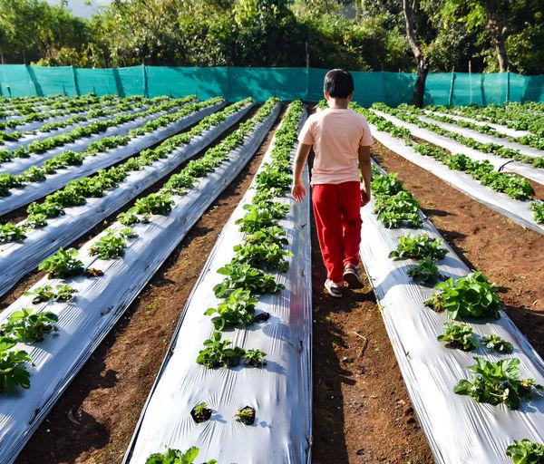 Full length rear view of boy walking on strawberry farm