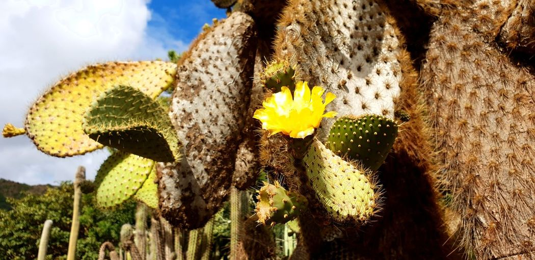 cactus Flower Head Flower Prickly Pear Cactus Sunflower Uncultivated Cactus Field Sky Close-up Plant Plant Life In Bloom Botany Petal Wildflower Pollen