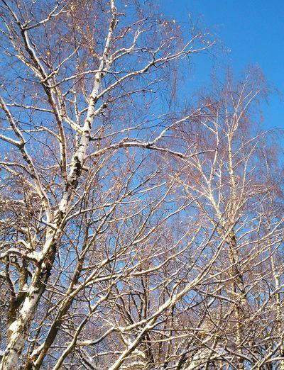Зимние березы. пейзаж Лес небо Forest Landscape Sky
