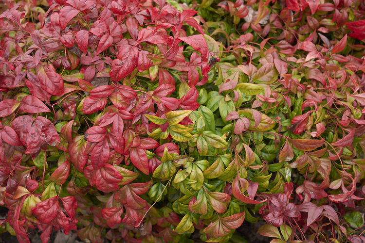 Nandina domestica shrub Plant Nandina Domestica Sacred Bamboo Heavenly Bamboo Nandina Shrub Leaves Leaf Multicolored Real People Green Branch Nature Outdoors Botany Garden Foliage Close-up Freshness Winter Dwarf Nandina Fire Power Flowerbed Bright Colorful