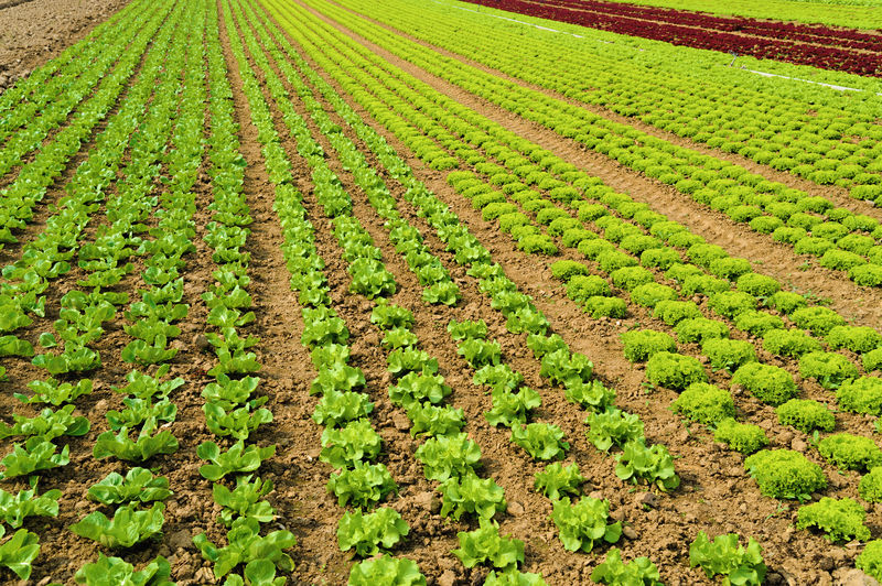lettuce on a field Agriculture Growth Field Land Plant Green Color Rural Scene Landscape Farm Crop  Nature Environment Beauty In Nature In A Row No People Tranquility Scenics - Nature Day Tranquil Scene Abundance Outdoors Gardening Plantation Planting