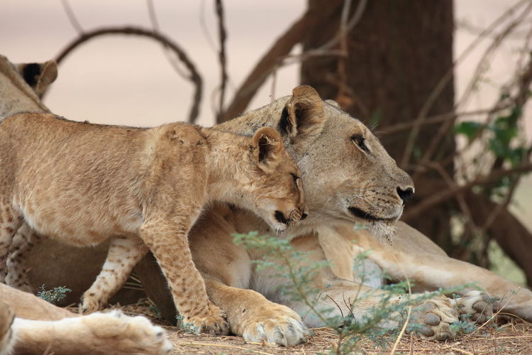 Side view of relaxed lioness and cub