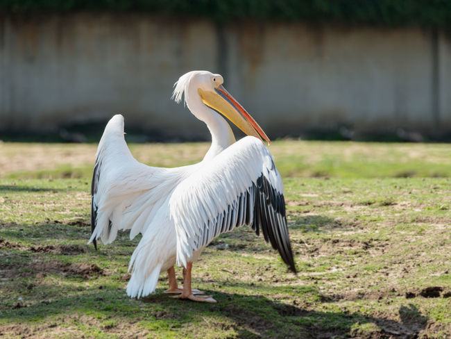 White pelican stands on the ground straightening feathers on a sunny day Ape Business Grass Ramat Gan - Tel Aviv Travel View Zoo Adaptation Animal Themes Animals In The Wild Attraction Biology Conservation Day Environment Israel Landscape Mammal Nature Population Predator Reserve Safari Scene Tourism