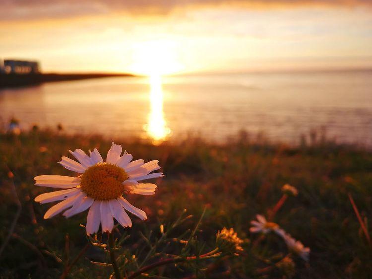 Beauty In Nature Flower Sunset Summer Memories 🌄 Landscape Netherlands Lauwersmeer Holiday