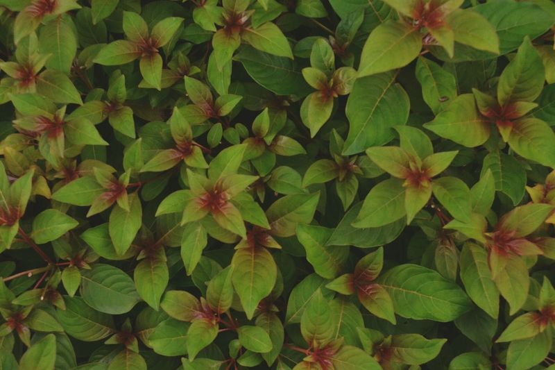 Leaf Green Color Growth Nature Beauty In Nature Backgrounds No People Full Frame Close-up Outdoors Freshness Day Plant Wallpaper Leaves Bits Of Red Afterlight