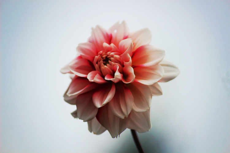 Close-up of pink dahlia against white background