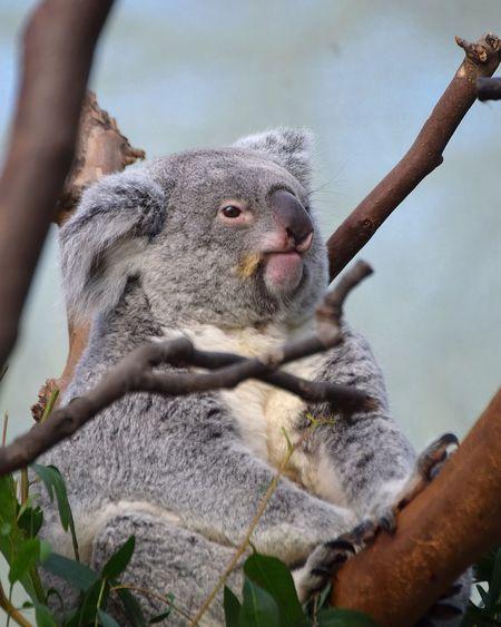 Koala Prilaga Animals Pet Love Animallover Photooftheday Animallovers Petsofinstagram Instatag Animales Animal Pets_of_instagram Instagood Petsagram Nature Tree Branch One Animal Animal Themes Animal Wildlife Day Outdoors