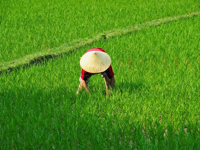 Rice Paddy One Person Only Rice Paddy Shadow And Light Worker Agriculture Crop  Day Field Grass Green Color Growth Hat Iconic Land Nature Outdoors Peaceful Place Planting Rice Rural Scene Working The Traveler - 2018 EyeEm Awards