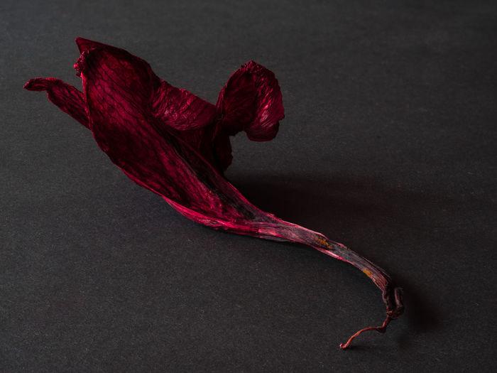 Amaryllis Flower Black Dark Dead Flower Dried Flowers Flower No People Red Studio Shot