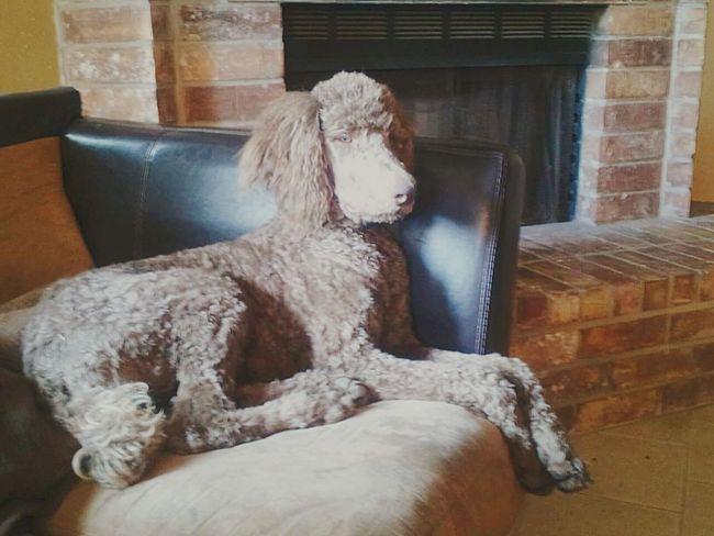 Stoic Standard Poodle Discipline Poised Dogs Mans Best Friend EyeEm Best Shots