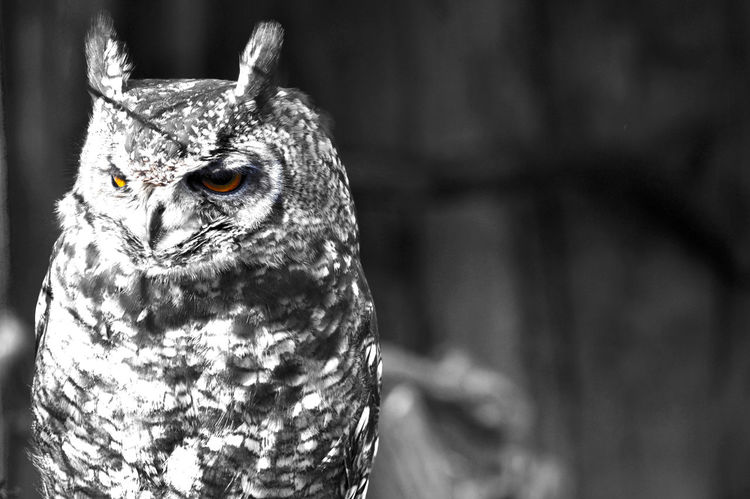 Horned owl had a bad day.. Animal Bad Day Black & White Black And White Black And White Portrait Black&white Blackandwhite Blackandwhite Photography Close Up Close-up Colored Eyes Depression Horned Owl Hornedowl  Mood Nature Owl Owl Art Owl Eyes Owllife Owls Owls💕 Wild Animal Wild Nature Showcase: February