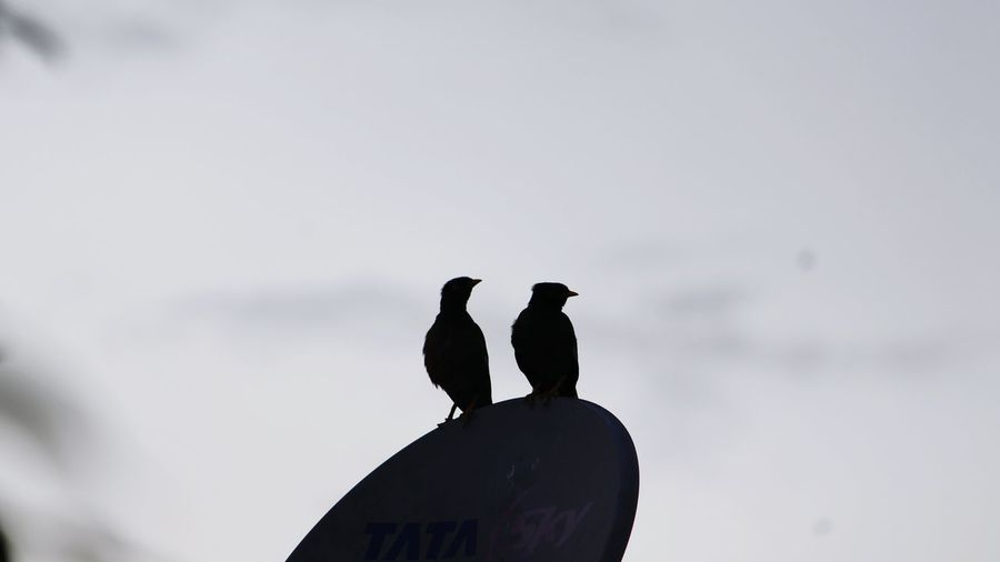 Bird Animal Wildlife Animals In The Wild Silhouette Animal Themes Perching Outdoors Raven - Bird Bird Of Prey No People Day Nature Togetherness Vulture Mourning Dove Sky Mammal