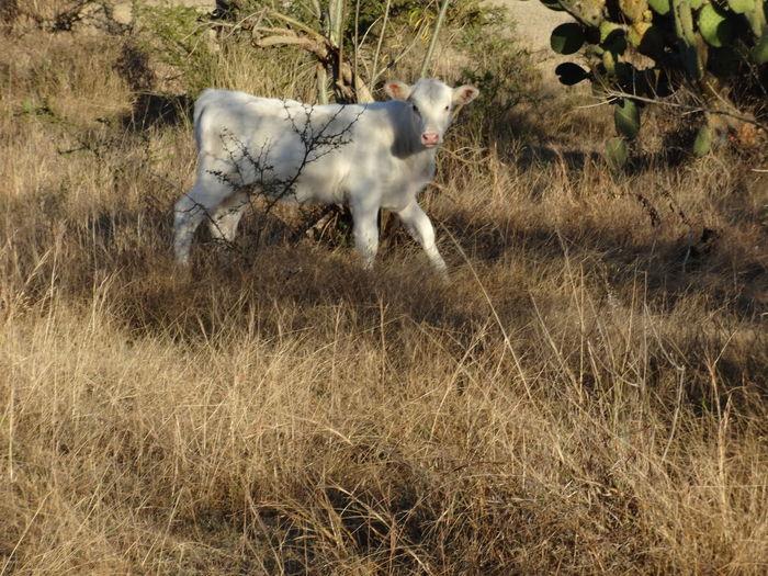 Jalisco, México Observando Animal Becerro