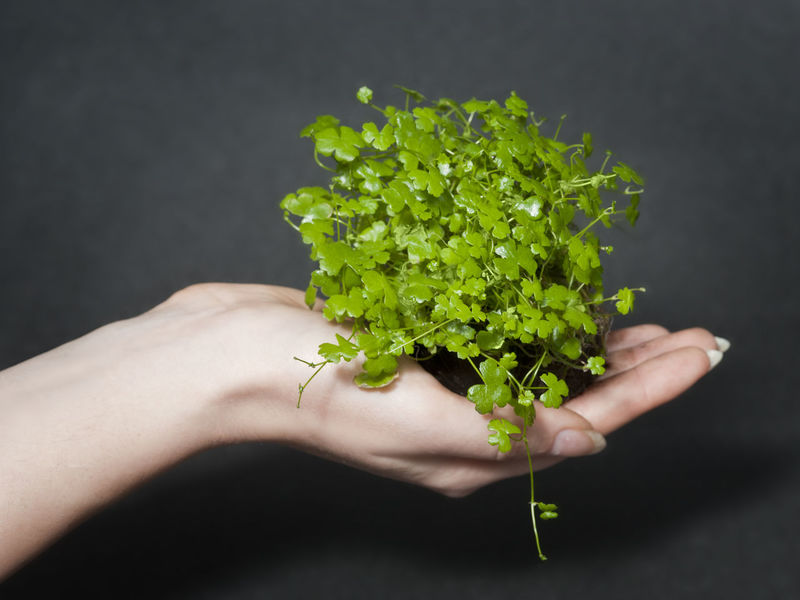 A bunch of water pennywort (Hydrocotyle sp. 'japan') in a hand. Aquarium Plants Aquascaping Aquatic Plants Botany Fragility Green Green Color Growth Hand Healthy Lifestyle Hydrocotyle Marsh Plants Organic Pennywort Plant Life Planted Tank