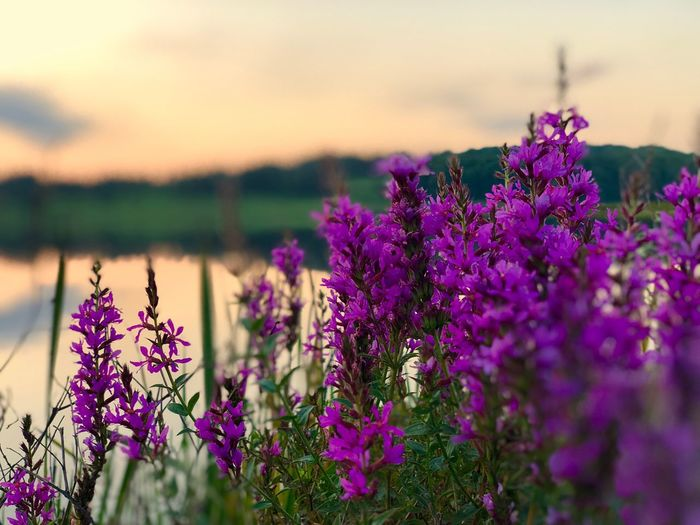 Flowers on the Lake Flower Flowering Plant Plant Beauty In Nature Freshness Purple Growth Nature Selective Focus Water Lake Outdoors Tranquility Focus On Foreground Close-up No People Pink Color Sky