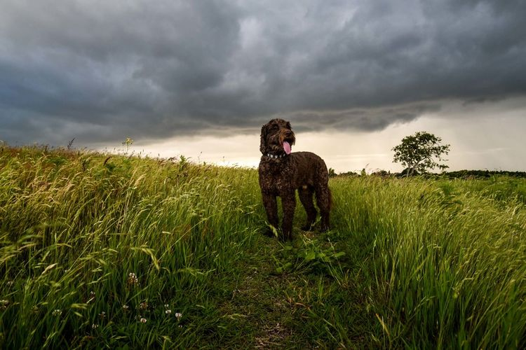 Dog looking away while standing on field against cloudy sky