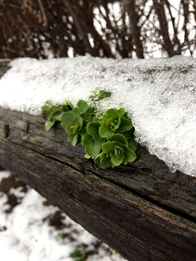 Snow And Plants Plant Nature Winter Beauty In Nature Close-up No People Focus On Foreground Outdoors Tree Trunk Snow Tree Cold Temperature Fragility Growth