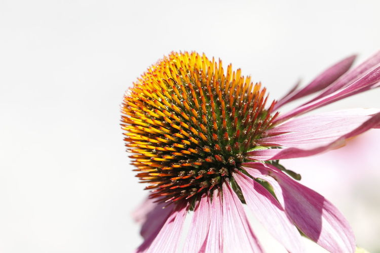 Close-up of coneflower