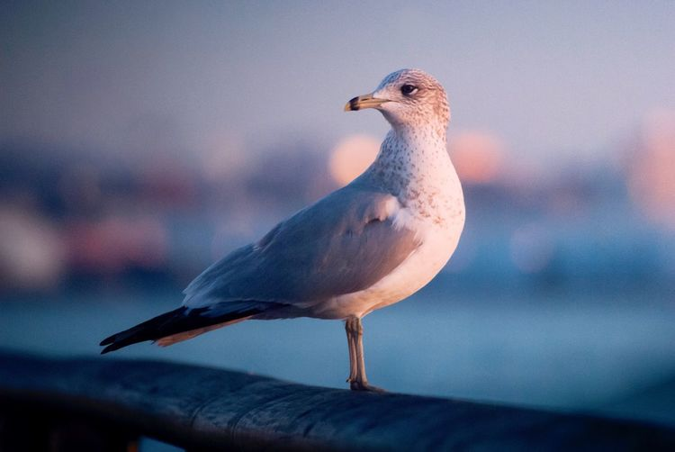 Seagull at Battery Park Bokeh Newyork Travel Destinations Animal Themes Animal Bird Animal Wildlife Animals In The Wild One Animal Vertebrate Nature Seagull Day Sunset Close-up Sea Sky Focus On Foreground
