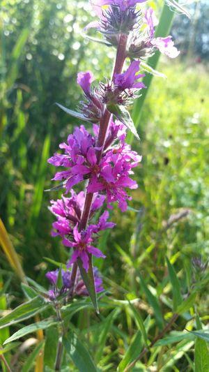 Purple Flower Flower Grassflowers Flowercloseup