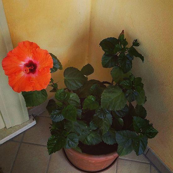 Fiorearancione Orangeflowers Ibiscus Picoftheday Wonderful 🌺🌺🌺