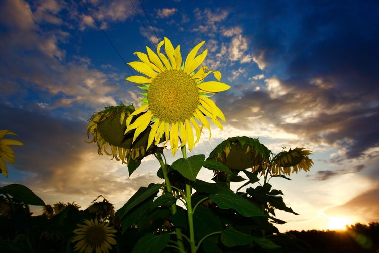 Sunflower at