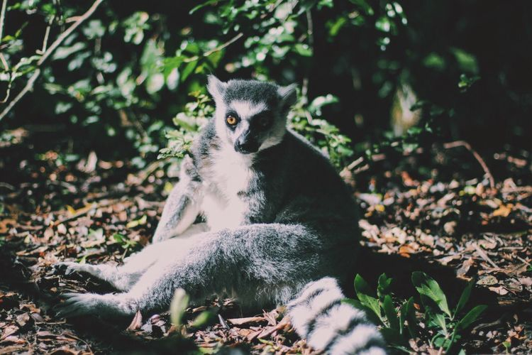 Lemur on field during sunny day