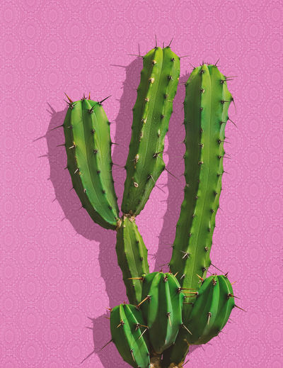 Green Color Pink Color Close-up No People Colored Background Plant Pink Background Nature Indoors  Day Cactus