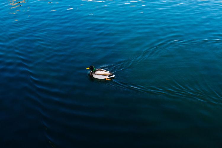 High angle view of male mallard duck swimming in sea