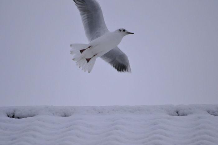 Snowy Days... Seagull Nature On Your Doorstep MyBackGarden