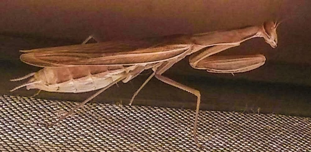 Praying Mantis Insect Insects  Bugs