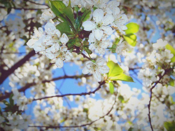 Вишенка) цветущаявишня Вишня вишенка красота весна май цветы