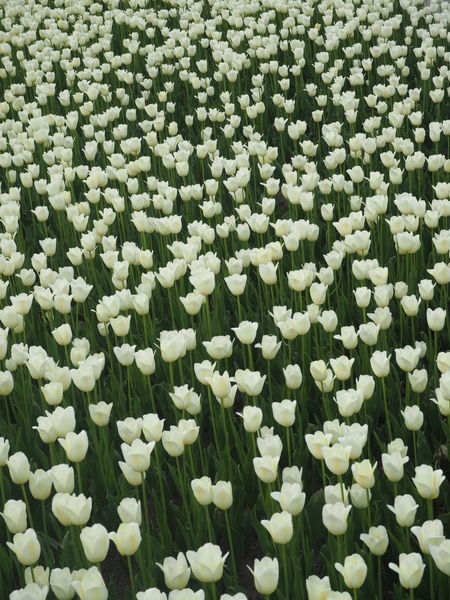 White Color Tulips Green Flower Flower Head Backgrounds Full Frame Flowerbed Close-up Blooming Plant Green Color