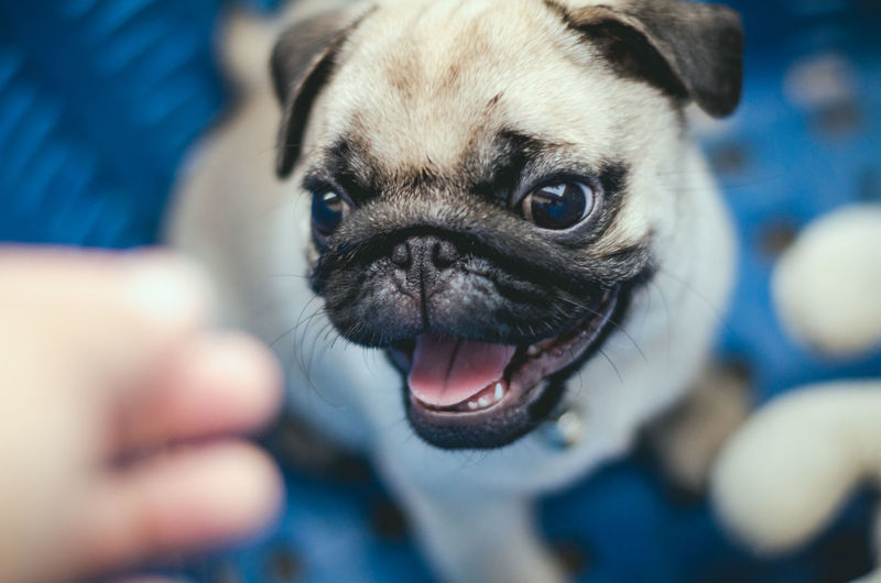 One Animal Animal Themes Canine Dog Domestic Mammal Domestic Animals Pets Animal Small Lap Dog Pug Close-up Animal Body Part Human Body Part Vertebrate Animal Head  Young Animal Portrait Human Hand Panting Mouth Open Animal Tongue Pet Owner Purebred Dog