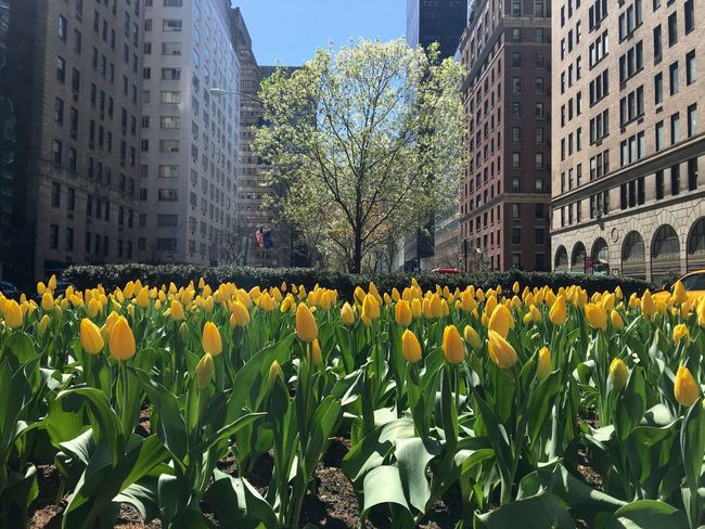 Yellow tulips on Fifth Avenue in New York City. Architecture Beauty In Nature Blooming Building Exterior Built Structure City Day Field Fifth Avenue NYC Flower Flowers Fragility Freshness Grass Green Color Growth In Bloom Lawn Leaf Nature Plant Yellow Yellow Tulips