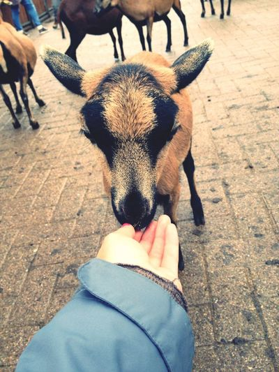 Goat Sweetheart Tripsdrill