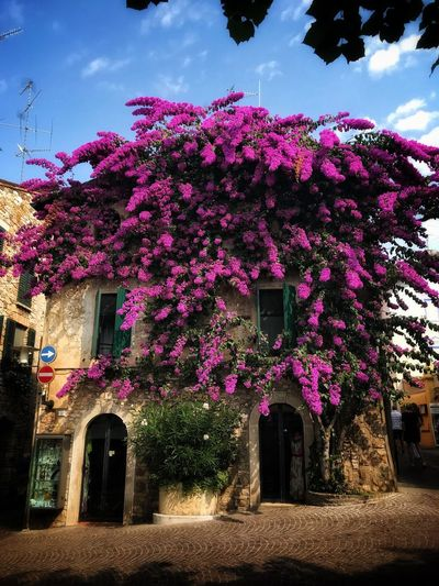 Bougainvillea Plant Building Exterior Sky Flower Pink Color House Growth