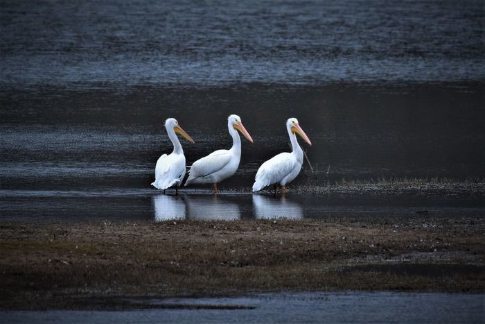 American white pelicans. Temple Texas Water Nature Bird Texas Texas Hill Country Beauty In Nature Animal Wildlife Bell County Texas Audubonsociety Texas Birds Pelican Timbopics Texasbirds Elephants Child EyeEm Gallery Texasphotographer EyeEm Best Shots