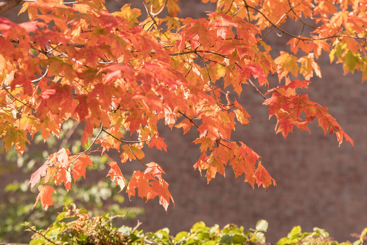 ©Amy Boyle Photography Autumn Beauty In Nature Branch Change Close-up Day Focus On Foreground Fragility Freshness Growth Leaf Maple Maple Leaf Maple Tree Nature No People Orange Color Outdoors Red Scenics Tranquility Tree