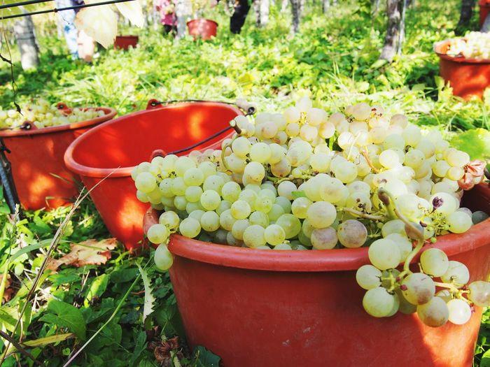 Wine Hervest Grape Autumn Trauben Weinberg Plant Growth