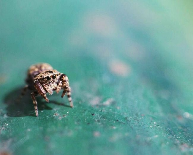Spider Babyspider Animal Wildlife Macro Close-up Jumping Spider Selective Focus Animal Themes Nature Outdoors Morning Eyes Small Cute
