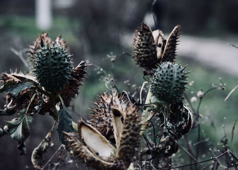beautiful and toxic nature; datura plant Agriculture Autumn Colors EyeEm Nature Lover Field Green Stechapfel The Week On EyeEm Abstract Branch Brown Close-up Countryside Fall Flora Datura Garden Growth Nature Outdoors Plant Thistle Toxic Wild Wilderness Perspectives On Nature